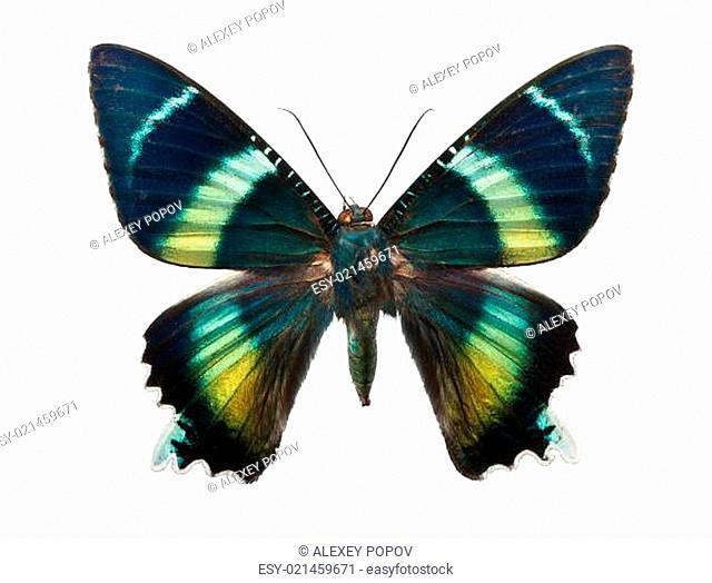 Butterfly Alcides argathyrsus