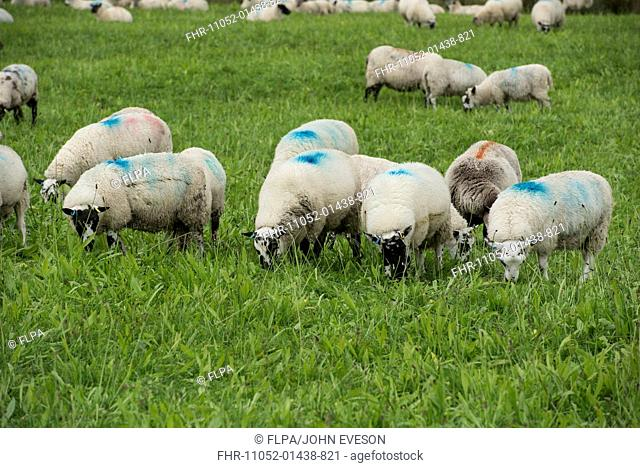 Domestic Sheep, lambs, flock grazing plantain and clover, Adfa, Newtown, Powys, Wales, September