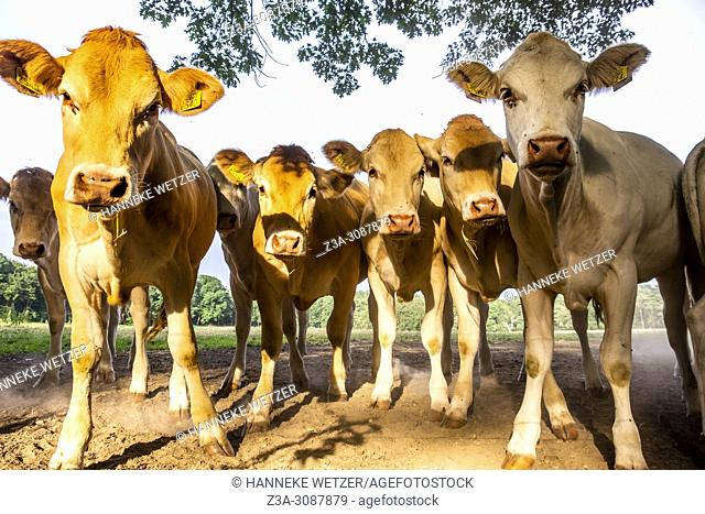 Curious dutch cows in a meadow in Berg en Dal, Netherlands