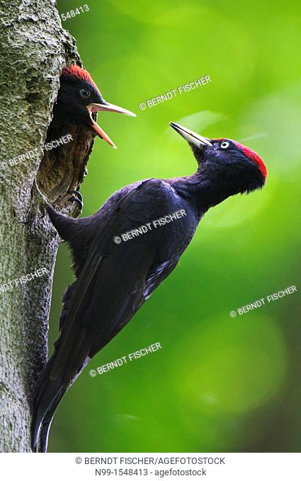 Black woodpecker Dryocopus martius, adult sitting at the entrance of the cave, juvenile demanding for feeding, Bavaria