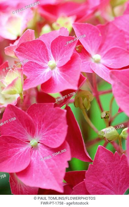 Hydrangea, Hydrangea macrophylla 'Westfalen', Close up of pink coloured flowers growing outdoor