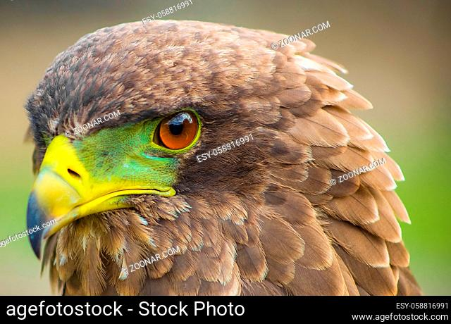 Close up macro of a brown eagle with a green and yellow beak