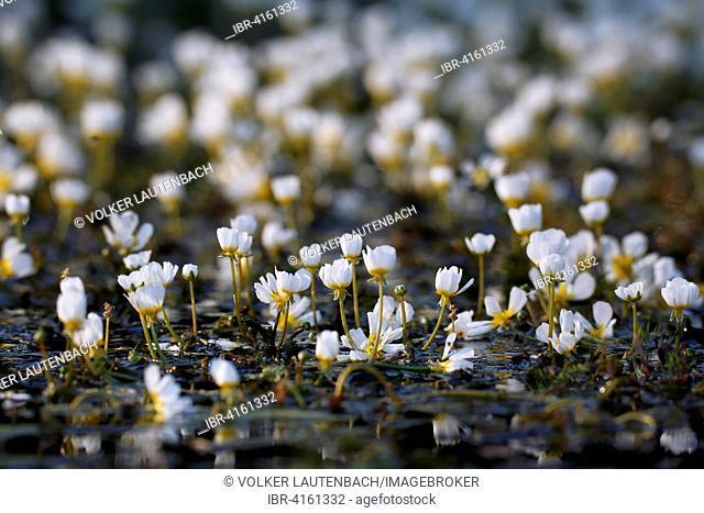 River Water Crowfoot (Ranunculus fluitans), Middle Elbe Biosphere Reserve, Dessau-Rosslau, Saxony-Anhalt, Germany