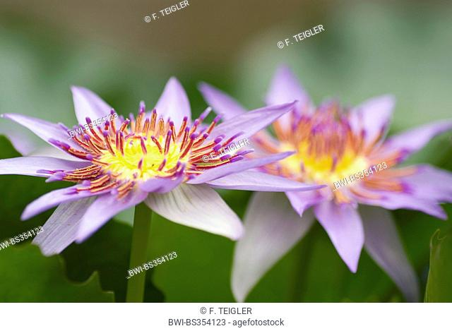 Tropical waterlily, Blue Pigmy (Nymphaea colorata), two flowers