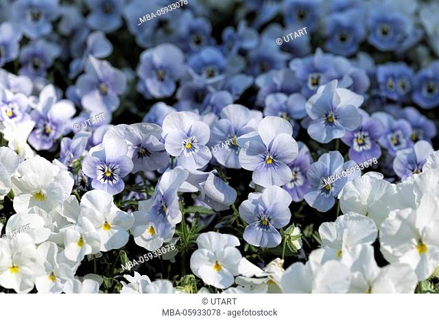 white and blue horned pansy, nicely cultivated
