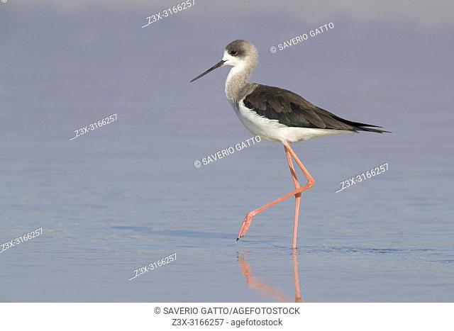 Black-winged Stilt (Himantopus himantopus), side view of a first winter individual standing in the water in Oman