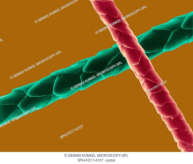 Coloured scanning electron micrograph (SEM) Cat hair (Felis silvestris catus). Cats have four types of hair. There are short fluffy hairs called secondary hairs