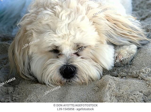 dog napping on the beach