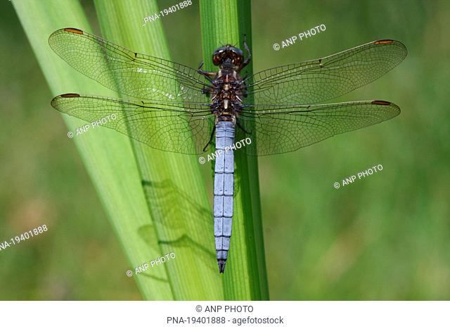 Keeled Skimmer Orthetrum coerulescens - Buurserzand, Haaksbergen, Twente, Overijssel, The Netherlands, Holland, Europe