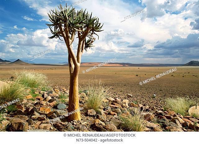 Quiver tree. Sossusvlei Lodge. Sossusvlei. Namibia