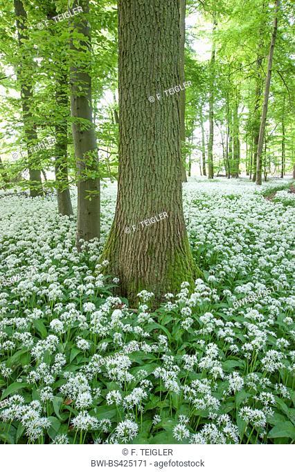 ramsons, buckrams, wild garlic, broad-leaved garlic, wood garlic, bear leek, bear's garlic (Allium ursinum), blooming in a forest, Germany