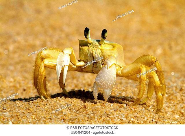 Beach crab, caranguejo Maria-farinha Ocypode sp : Ocypodidae , Praia do Jucu, Vila Velha, Espiríto Santo, Brazil