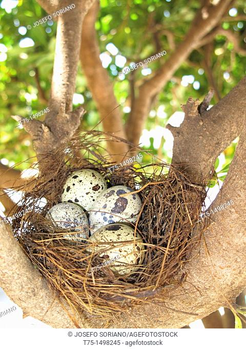 Nest with quail eggs