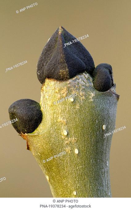 Ash Fraxinus excelsior - Neerpelt, Campine, Limburg, Flanders, Belgium, Europe