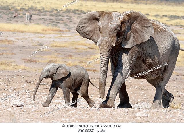 Female elephant (Loxodonta africana) and her baby, all of them covered with mud, moving at Newbroni waterhole, Etosha National Park, Namibia, Africa