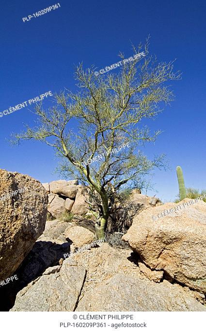 Foothill palo verde / yellow paloverde (Parkinsonia microphylla / Cercidium microphyllum) showing its smooth green bark, Saguaro National Park, Arizona, USA