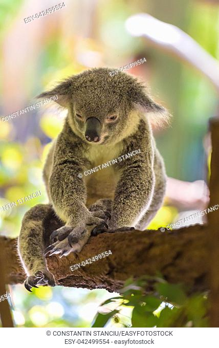 Portrait of koala, an arboreal herbivorous marsupial native to Australia, typically inhabiting open eucalypt woodlands