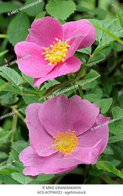 Rose blossoms Samuel de Champlain Provincial Park Ontario Canada