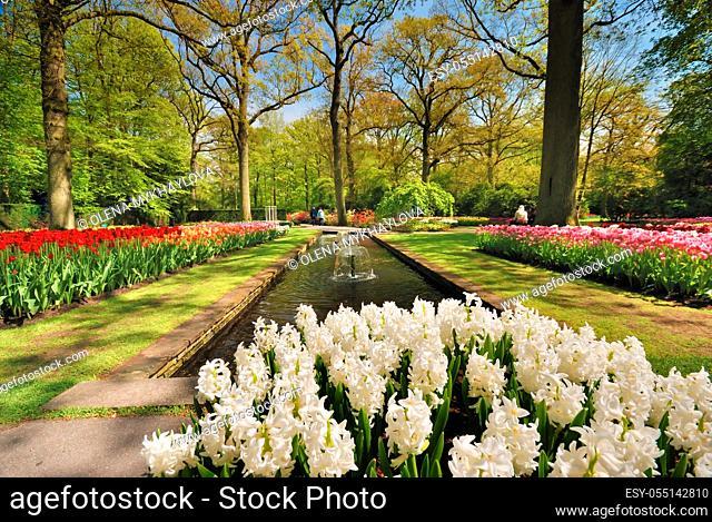 White Hyacinths in the spring Keukenhof park, Netherlands