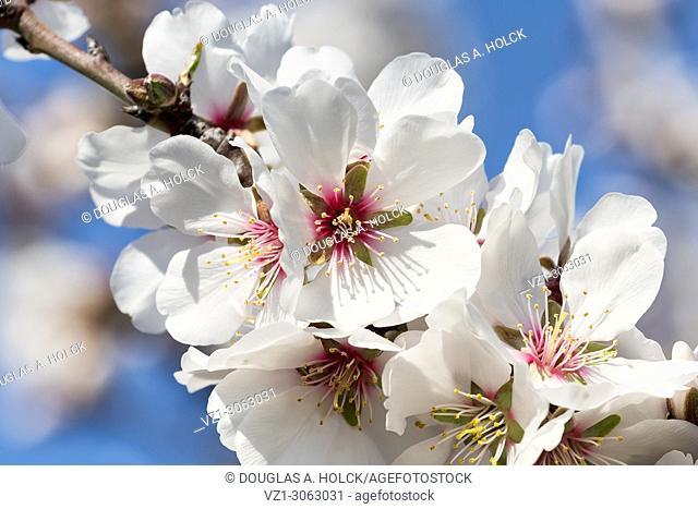 Fruit Tree Blossoms San Joaquin Valley, California, USA