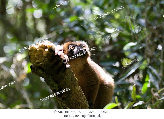 Red-bellied Lemur (Eulemur rubriventer), Madagascar, Africa