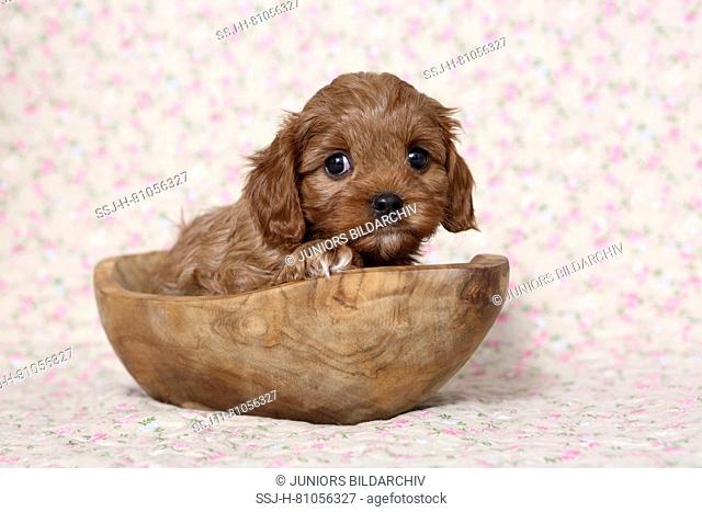 Cavapoo (Poodle x Cavalier King Charles Spaniel). Puppy in a wooden bowl. Studio picture against a light background with flower print. Germany