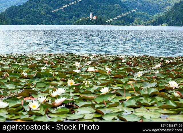 Lake Bled Slovenia and water lilies. Beautiful mountain lakewith small Church on island with castle on cliff and european alps in the background