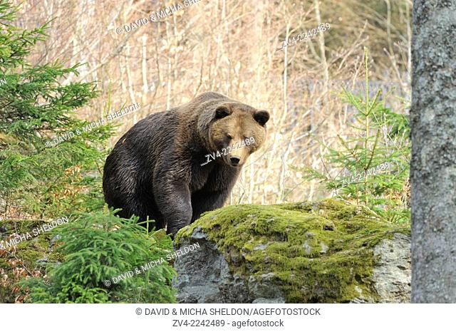 Close-up of a Eurasian brown bear (Ursus arctos arctos) in a forest in spring