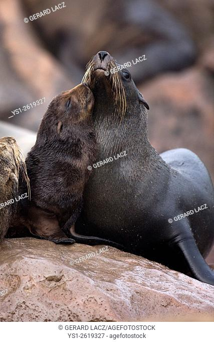 South African Fur Seal, arctocephalus pusillus, Female and Pup, Cape Cross in Namibia