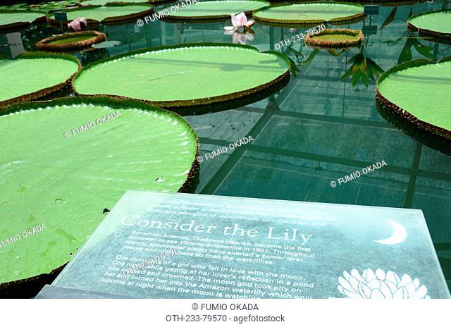 Amazon water lily victoria amazonica