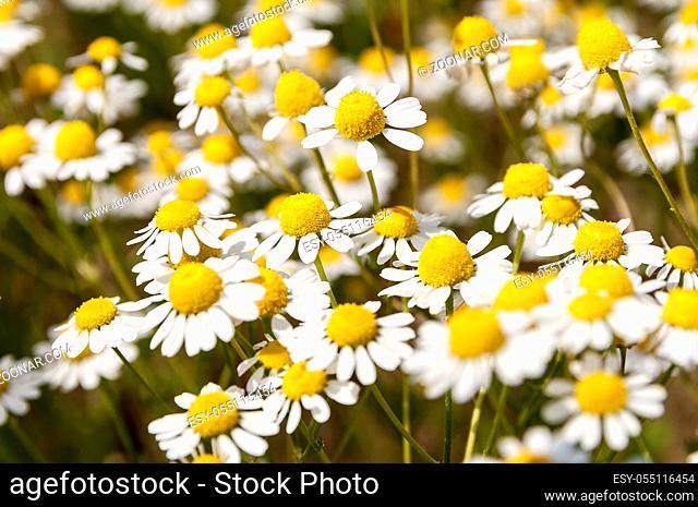 Kamille leuchtend auf einer Sommerwiese