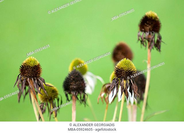 cone flower (Echinacea purpura), faded