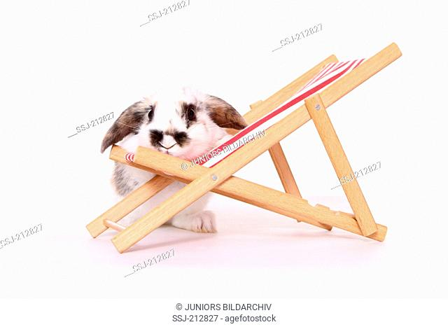 Lop-eared dwarf rabbit next to a dolls deckchair. Studio picture against a white background