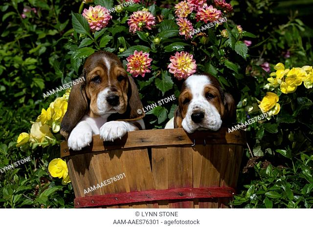 Basset Hound Pup In Flowers Stock Photos And Images Age Fotostock