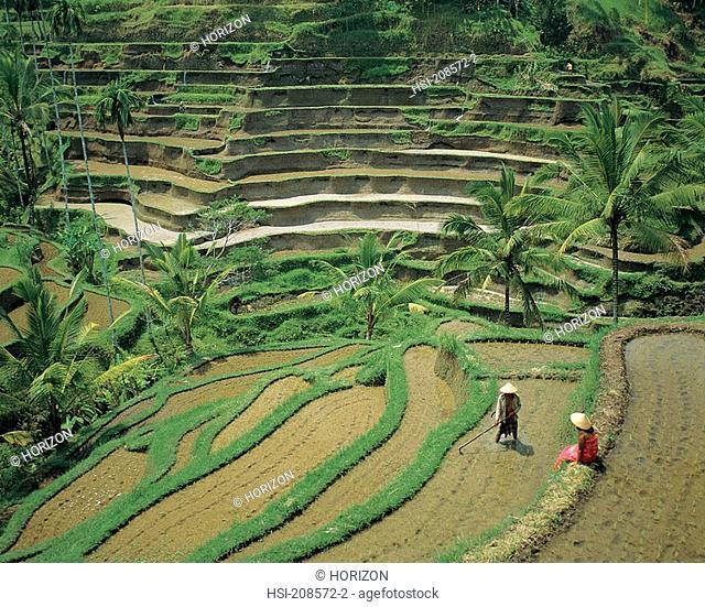 Travel, Indonesia, Bali, Agriculture, Rice terraces near Ubud