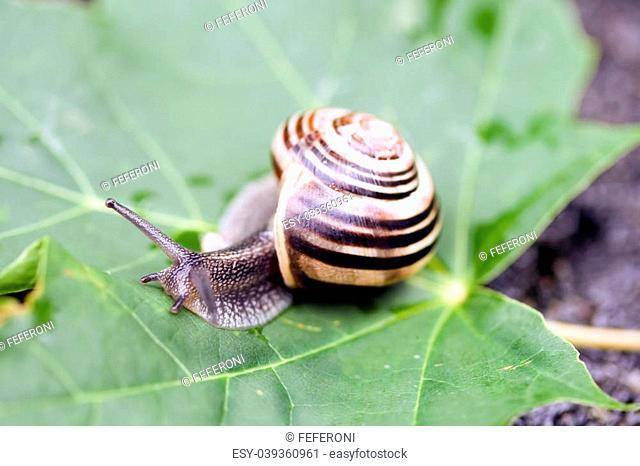 common garden snail taking a walk on a green leaf