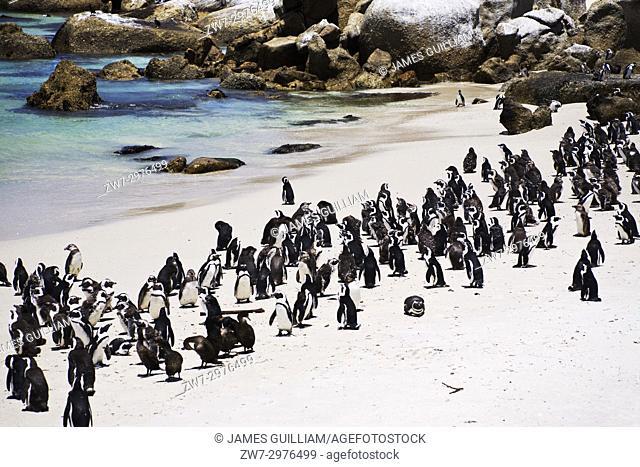 Penguins African Penguin Spheniscus demersus Jackass Penguin Boulders Beach Simonstown South Africa