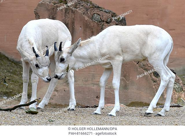 Twoyoung white Addax desert antelopes stand in the outdoor enclosure at the zoo in Hannover, Germany, 30 June 2016. In total