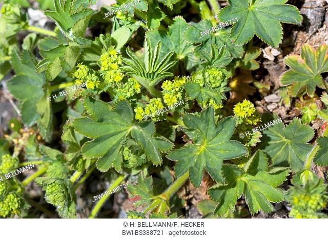 lady's-mantle (Alchemilla xanthochlora, Alchemilla vulgaris agg.), blooming, Germany