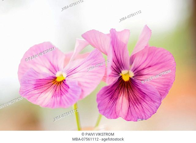 Beautiful Pansy Flowers, purple color