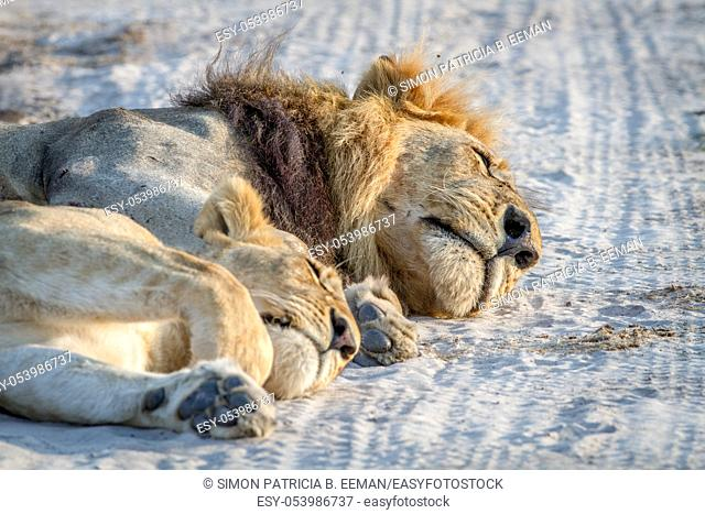 Close up of a male and female Lion laying in the sand in the Chobe National Park, Botswana