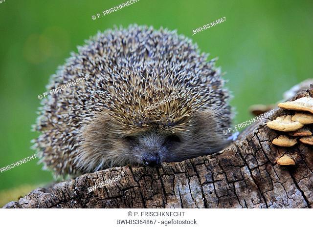 Western hedgehog, European hedgehog (Erinaceus europaeus), hedgehog on a dead trunk, Switzerland