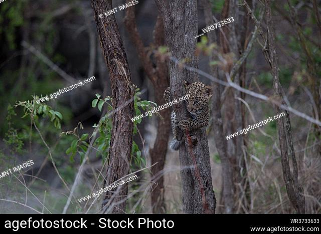A leopard cub, Panthera pardus, hangs on a thing tree trunk