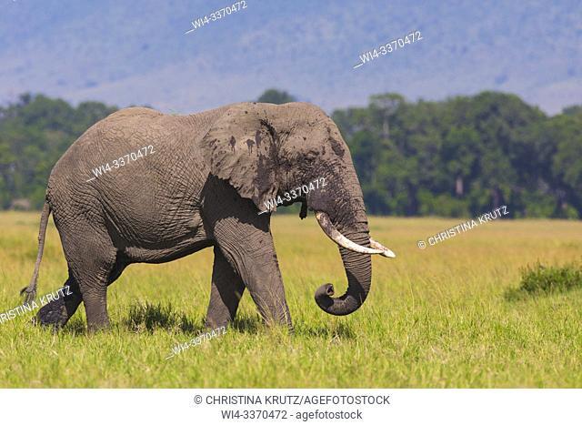African elephant (Loxodonta africana) walking in savanna, Masai Mara National Reserve, Kenya