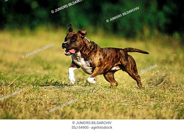 American Staffordshire Terrier / Pit Bull Terrier