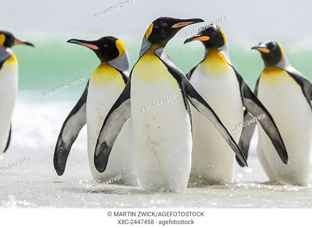 King Penguin (Aptenodytes patagonicus) on the Falkand Islands in the South Atlantic. Group of penguins standing in ocean