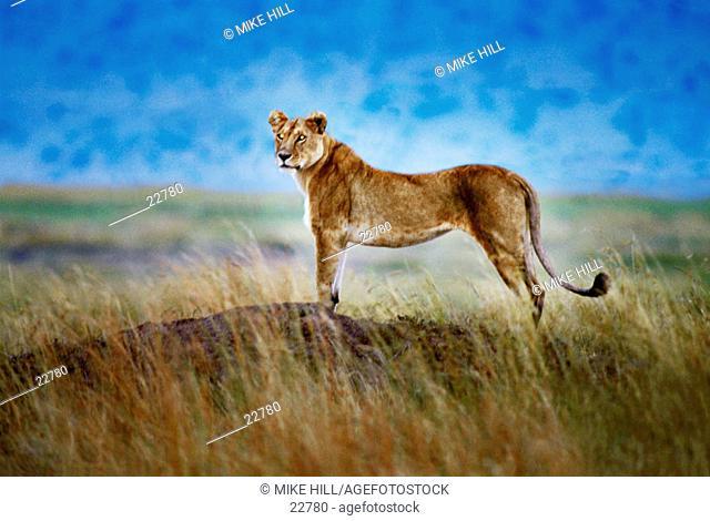 Lioness (Panthera leo). Masai Mara. Kenya