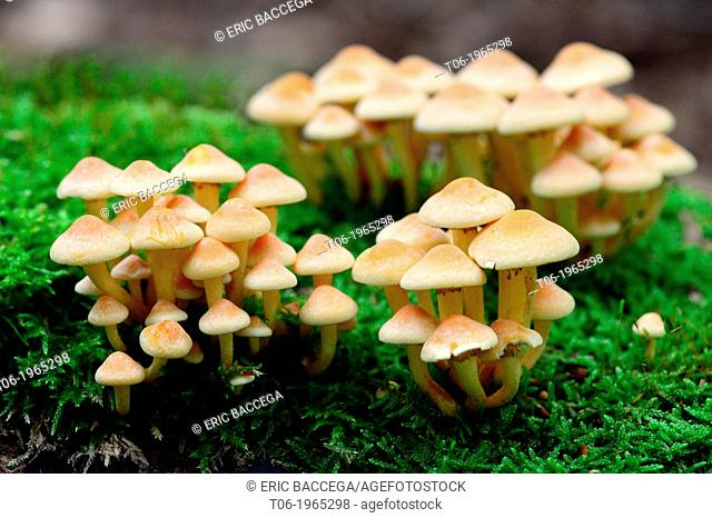 Sulphur tuft (Hypholoma fasciculare) fungi on decaying wood, Alsace, France