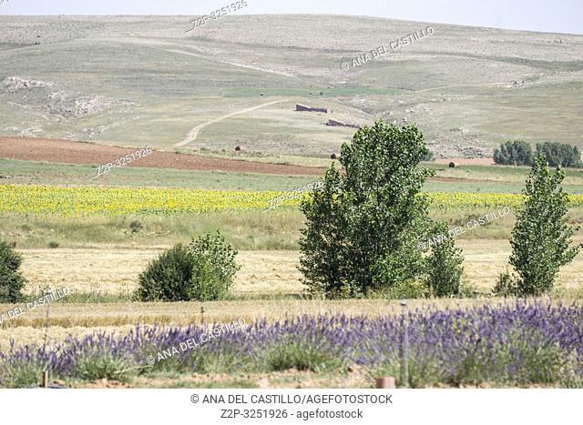 Lavender plantation in El Pobo Teruel Aragon Spain