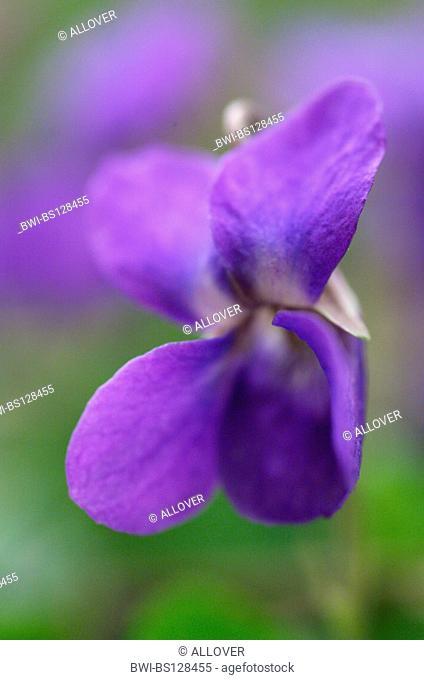 heart's ease, violet (Viola spec.), flower